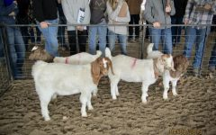 The goat class waits in their pin at the fairgrounds to get judged by the students.