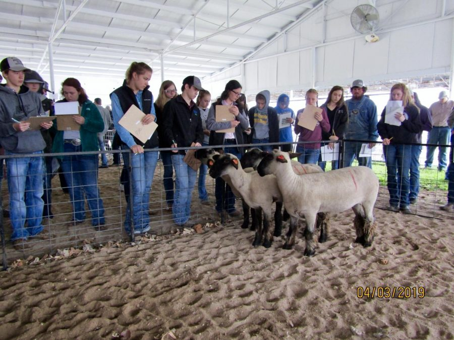 Students+judge+the+sheep+class+at+the+Iola+fairgrounds+on+April+4+as+part+of+the+livestock+judging+contest+at+Allen+County+Aggie+Days+hosted+by+Allen+Community+College.